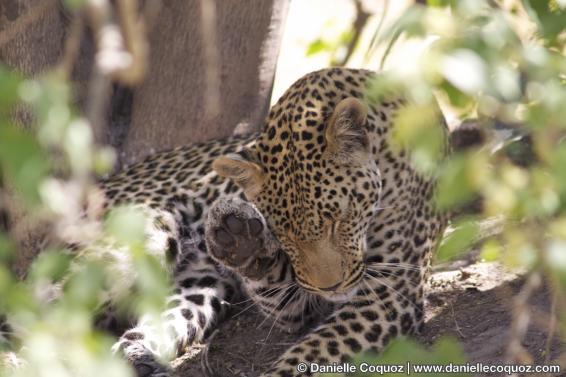 Les voeux du léopard
