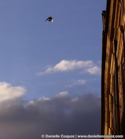 Pigeon vole, Place des Vosges